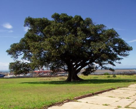 Wild Fig Tree across the road from the South End Museum