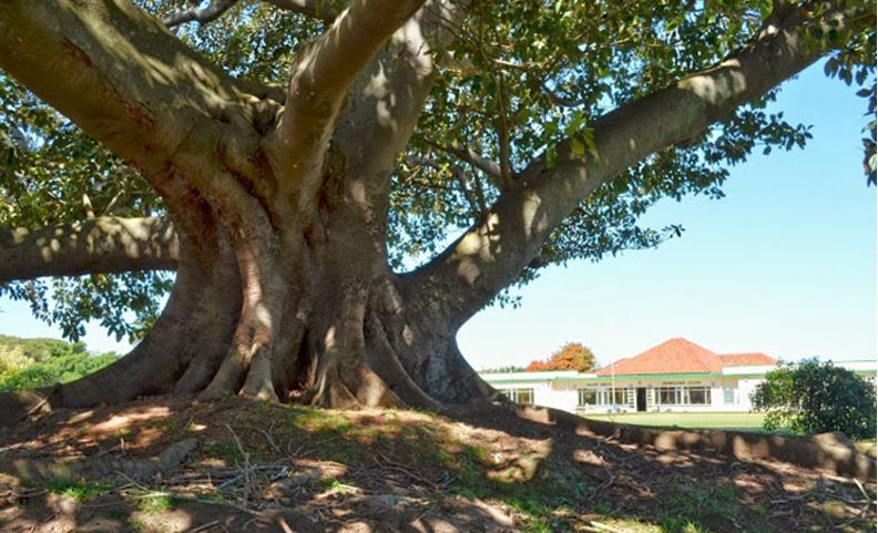 Wild Fig Tree near the Park Drive Bowling Club's Clubhouse