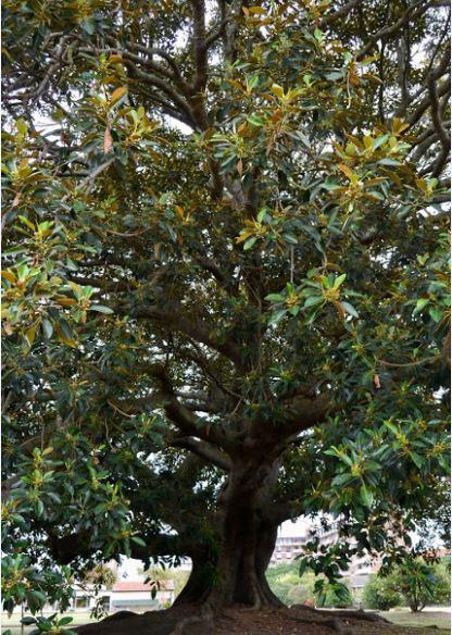 wild-fig-tree08