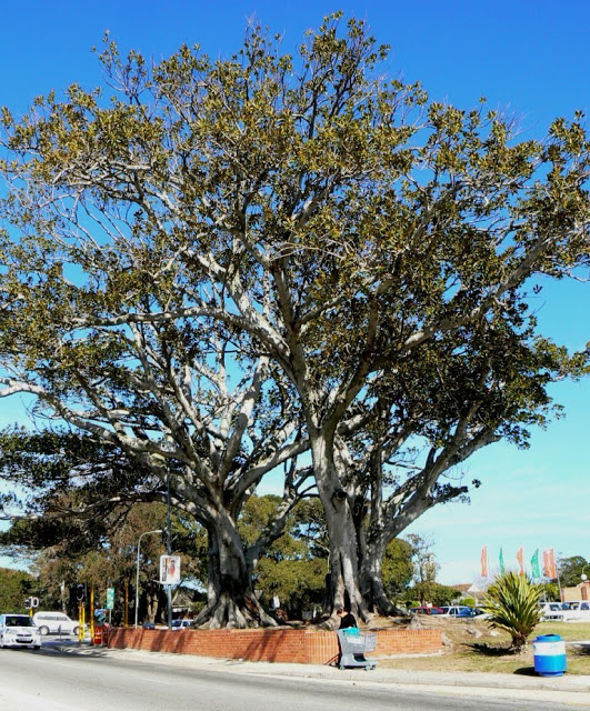 Wild Fig Trees in Main Road Walmer