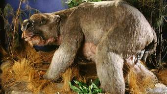 The diprotodon was a hippopotamus-sized marsupial, most closely related to the wombat.