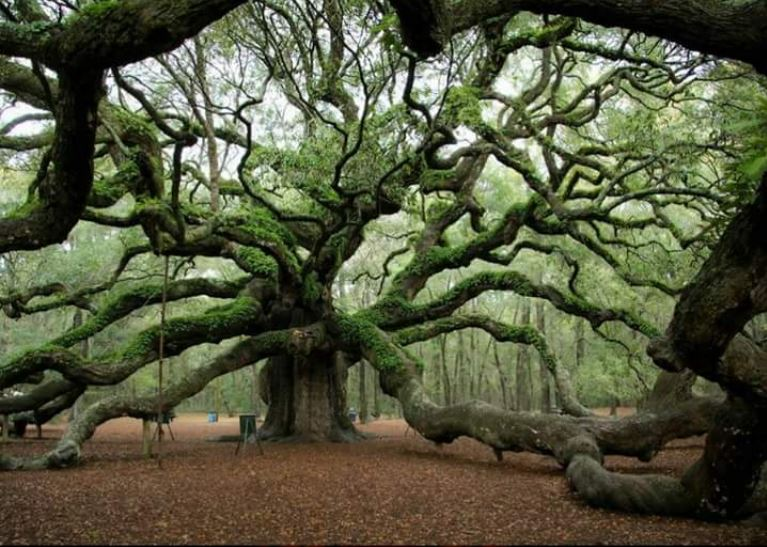 1500 year old Angel Oak tree in South Carolina