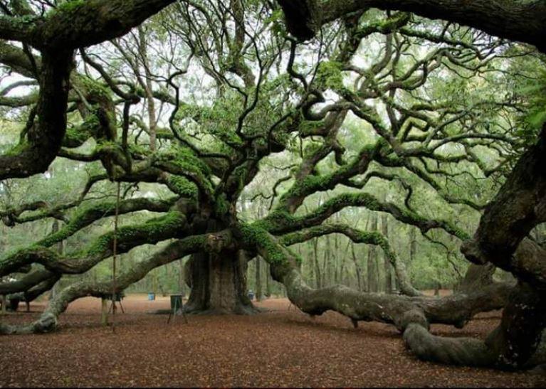1500 year old Angel Oak tree in South Carolina