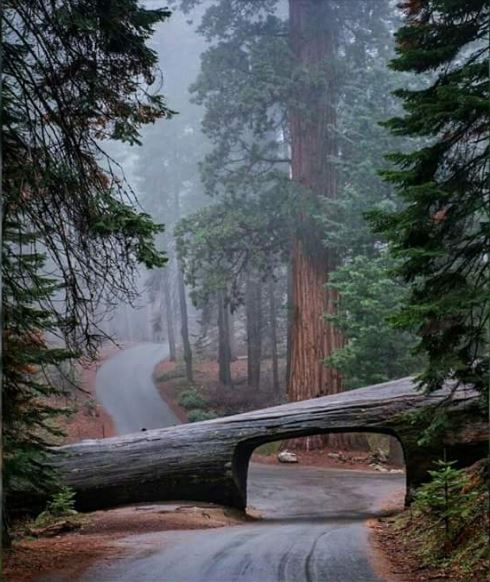 A drive through log in Sequoia National Park