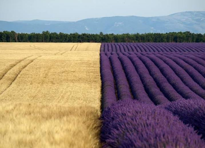 A wheatfield next to a lavender field