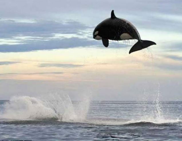 An eight ton orca jumping 15 feet out of the water