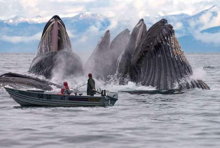 Humpback whales feeding in Alaska