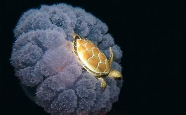 The Golden Turtle conserves energy by floating on a jellyfish