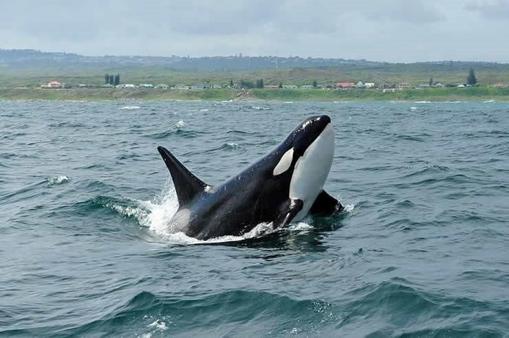Killer Whale off Schoenmakerskop