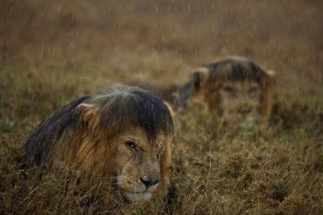 Lions enduring the rain in Tanzania